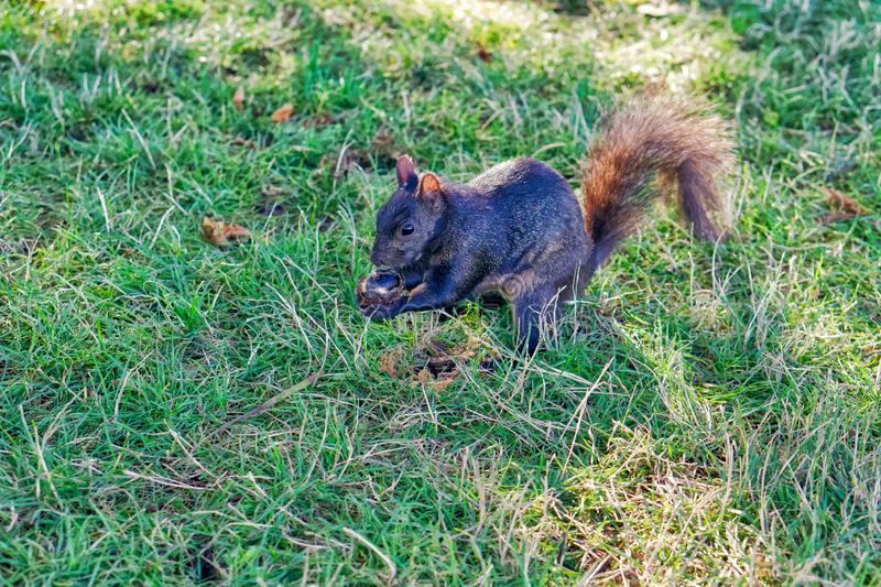 Grey squirrel in the grass eating a nut. Gray eurasian squirrel in the park on the green grass, holding and eating a nut or acorn. Nature detail, summer day stock photo