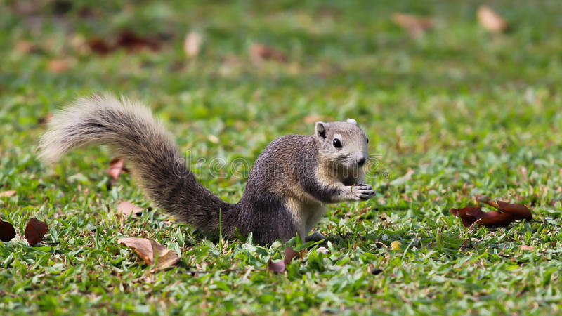Grey Squirrel on grass stock images