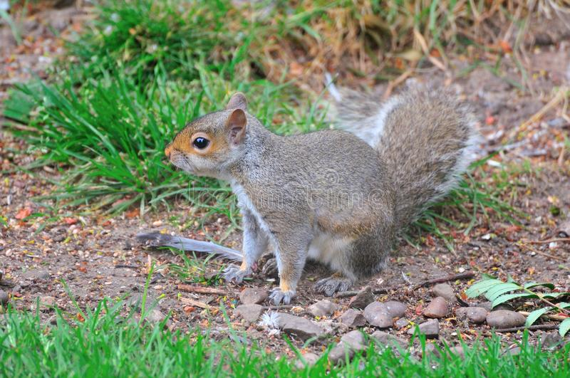 Download Grey Squirrel On The Ground. Stock Image - Image: 32000085