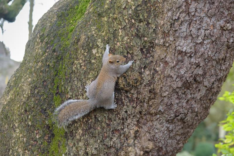 Grey Squirrel hanging on tree and looking right royalty free stock photos