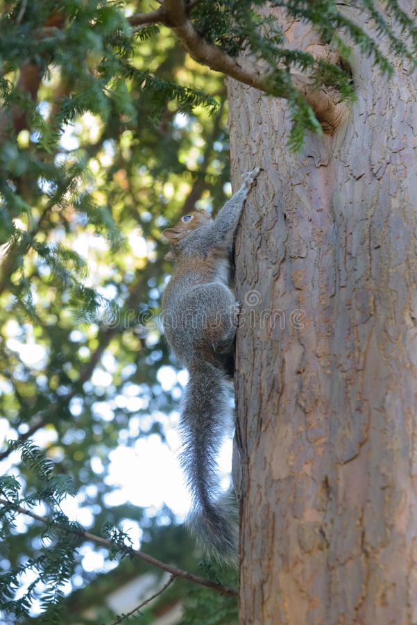 Grey Squirrel hanging on tree stock photo