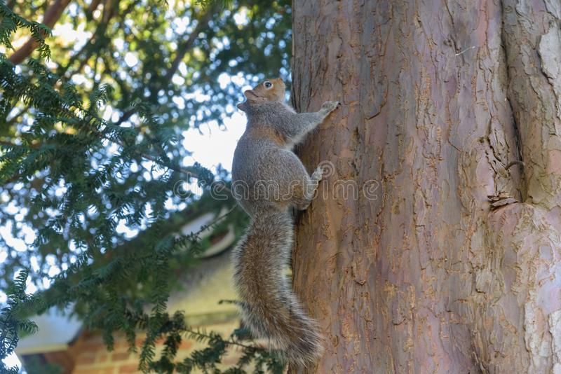 Grey Squirrel hanging on tree stock photos