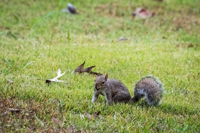 A Grey Squirrel holding an acorn, Marietta, Georgia, USA. A small grey squirrel sitting and holding an acorn, Marietta, Georgia, USA stock photo