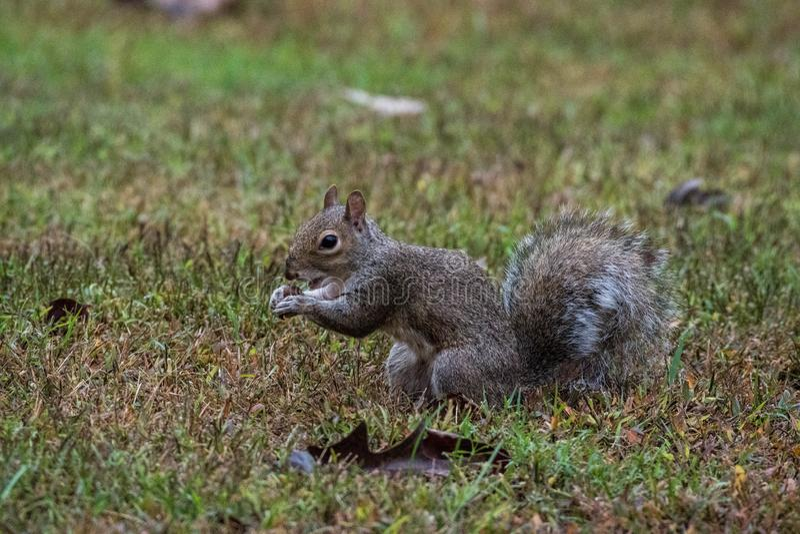 A Grey Squirrel holding an acorn, Marietta, Georgia, USA. A small grey squirrel sitting and holding an acorn, Marietta, Georgia, USA stock images