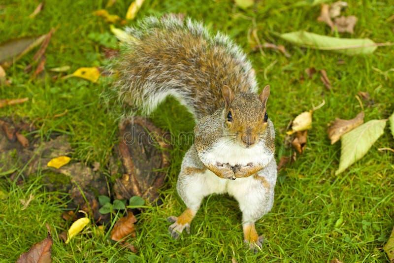 Grey Squirrel im Herbst stockbilder