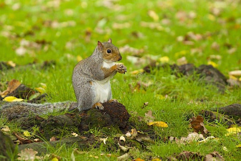 Grey Squirrel im Herbst lizenzfreie stockfotos