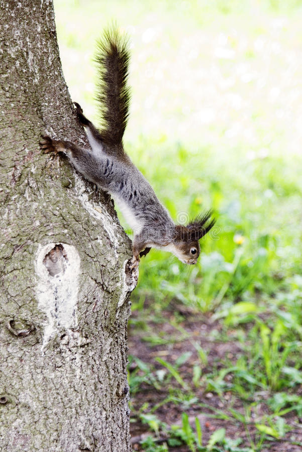 Free Grey Squirrel In Forest Royalty Free Stock Photos - 59887078