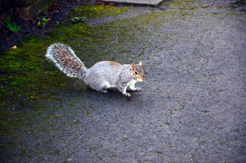 A grey Squirrel in a park royalty free stock photography