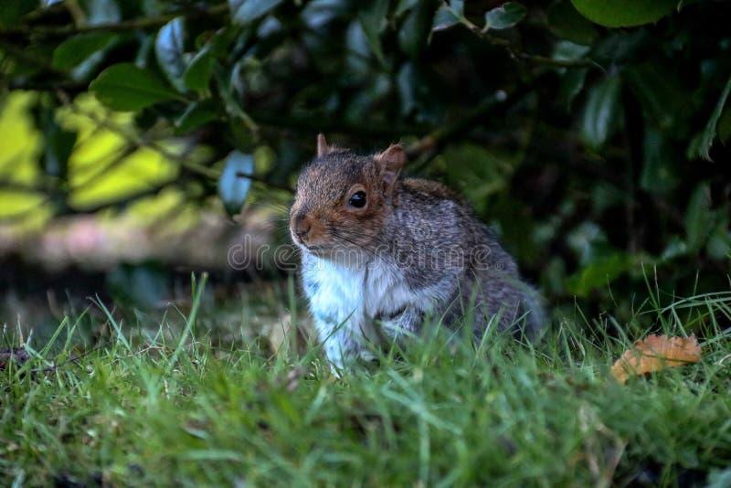 Grey Squirrel Living in een Stedelijk Bos stock fotografie