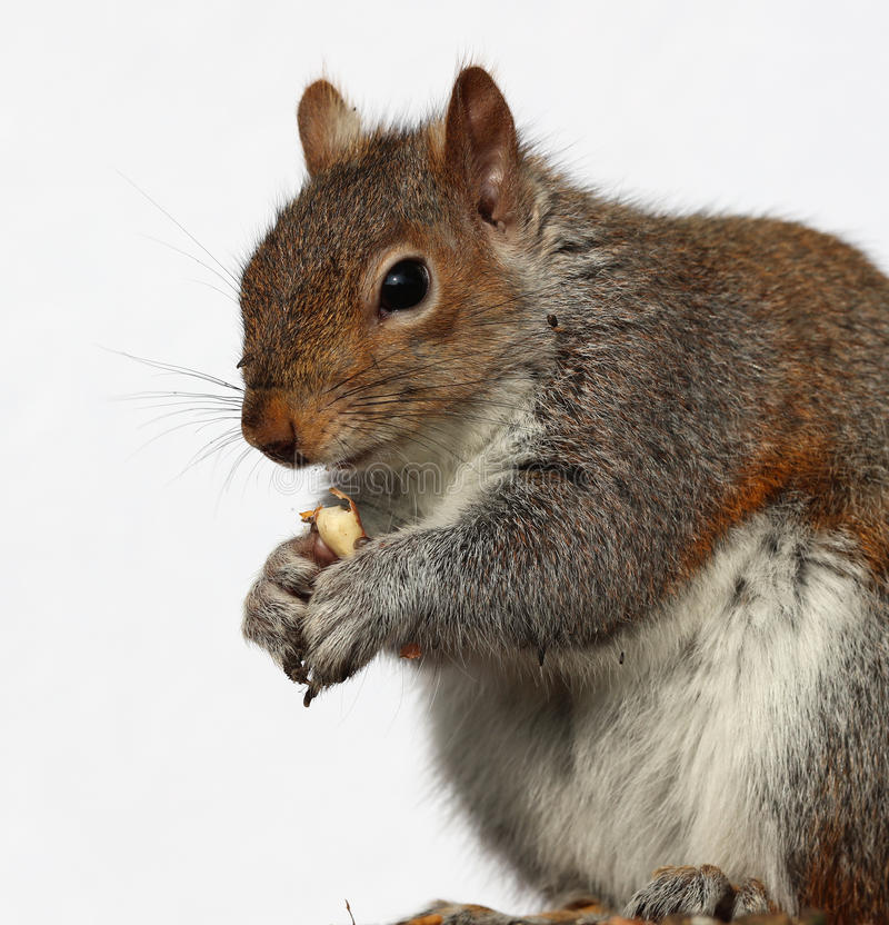Grey Squirrel mangeant des arachides photos stock