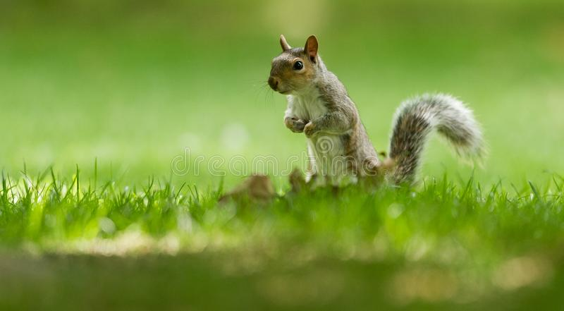 Grey Squirrel in the meadow. England. Very close royalty free stock photos