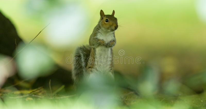 Grey Squirrel in the meadow. England. Very close royalty free stock photography