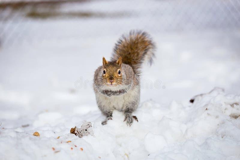 Download Grey Squirrel Na Neve, Lachine, Montreal, Quebeque, Canadá Foto de Stock - Imagem de nave, amigável: 65577916