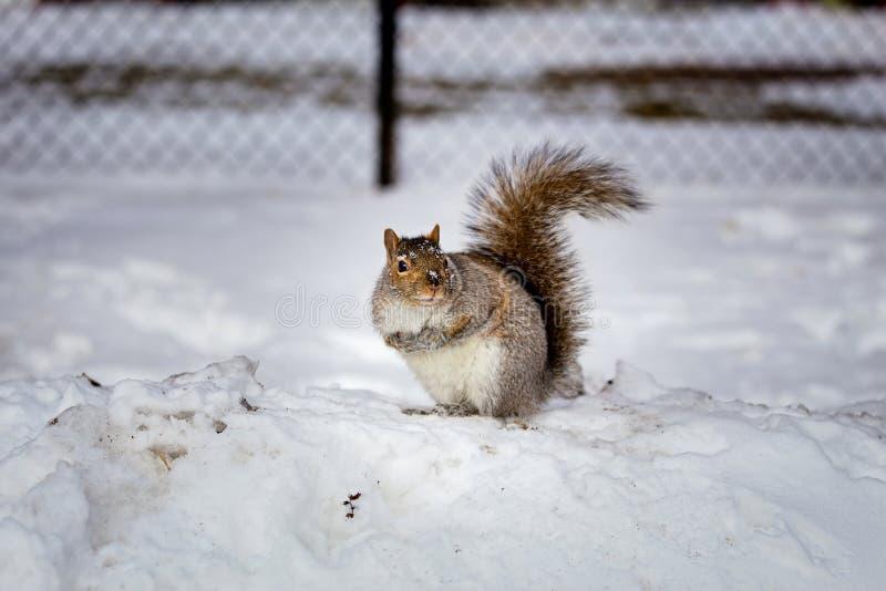 Download Grey Squirrel Na Neve, Lachine, Montreal, Quebeque, Canadá Foto de Stock - Imagem de nave, pensilvânia: 65577918