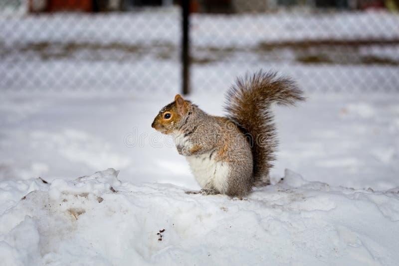Download Grey Squirrel Na Neve, Lachine, Montreal, Quebeque, Canadá Foto de Stock - Imagem de oriental, marrom: 65577922