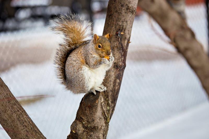 Download Grey Squirrel Na Neve, Lachine, Montreal, Quebeque, Canadá Foto de Stock - Imagem de cute, se: 65577944