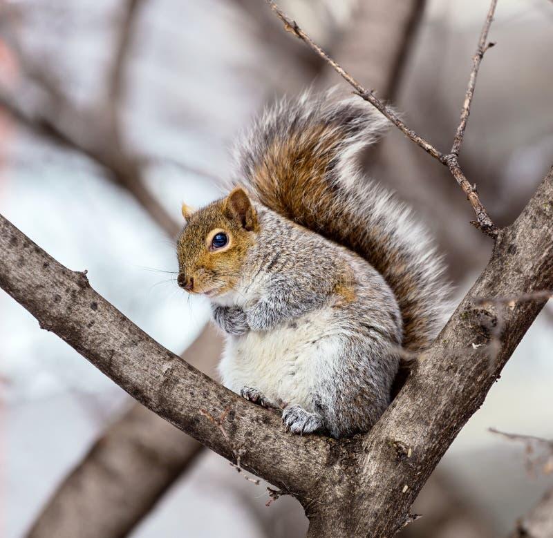 Download Grey Squirrel Na Neve, Lachine, Montreal, Quebeque, Canadá Imagem de Stock - Imagem de gráfico, fundo: 65577959