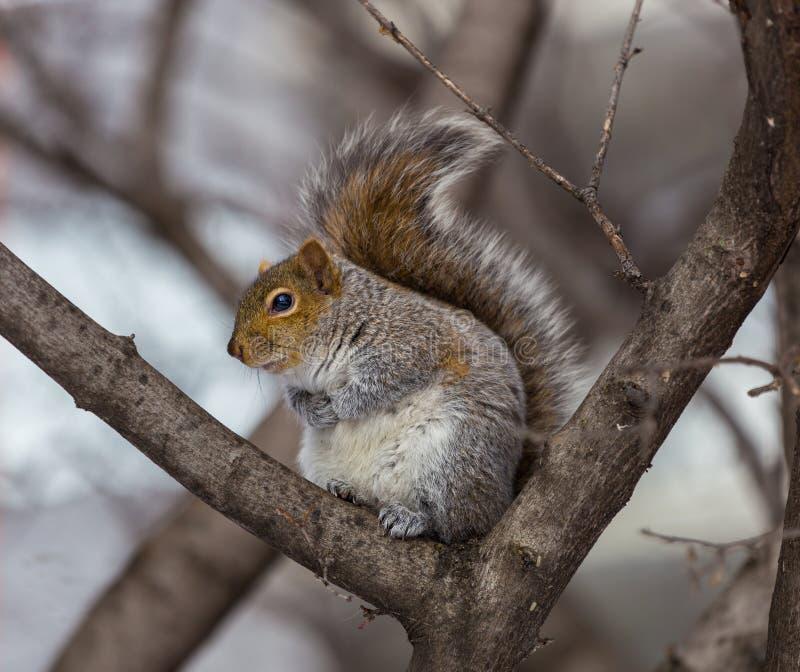 Download Grey Squirrel Na Neve, Lachine, Montreal, Quebeque, Canadá Foto de Stock - Imagem de mamífero, oriental: 65577966