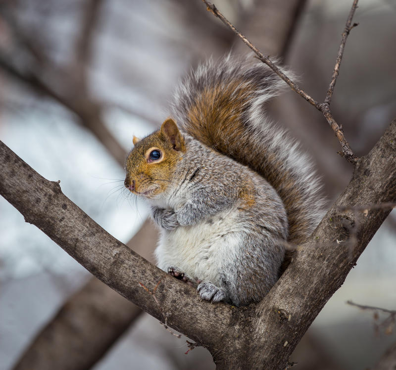 Download Grey Squirrel Na Neve, Lachine, Montreal, Quebeque, Canadá Imagem de Stock - Imagem de roedor, pele: 65577967