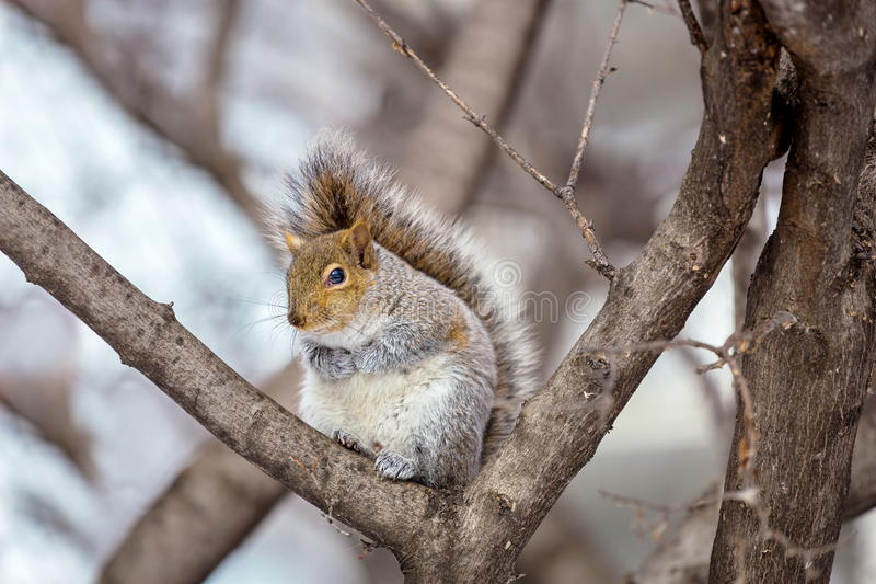 Download Grey Squirrel Na Neve, Lachine, Montreal, Quebeque, Canadá Foto de Stock - Imagem de retrato, americano: 65577972
