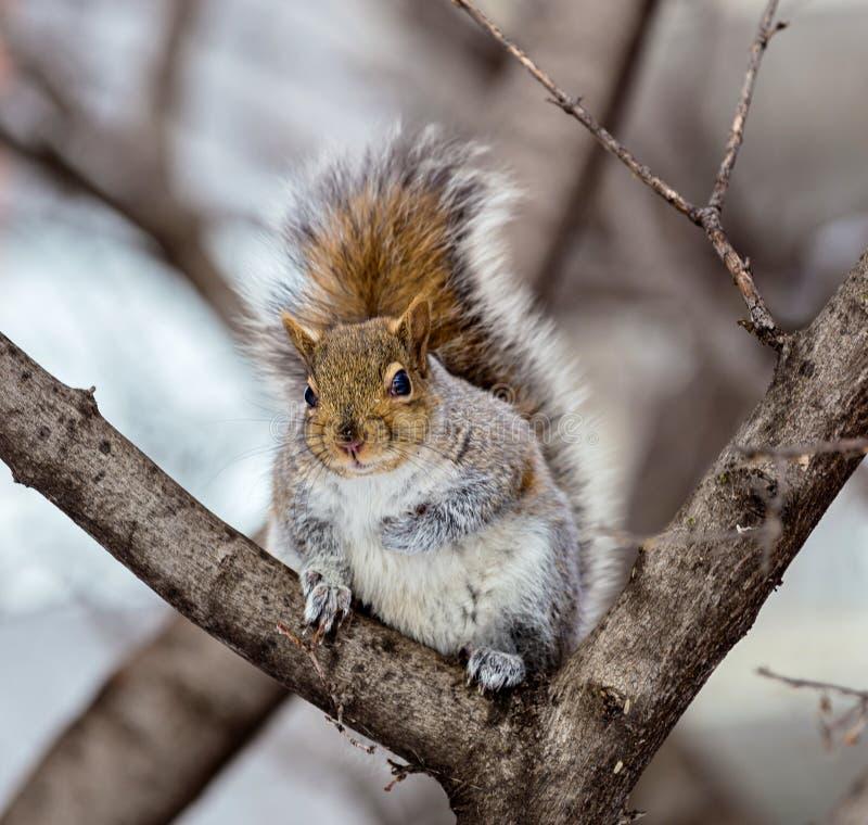 Download Grey Squirrel Na Neve, Lachine, Montreal, Quebeque, Canadá Foto de Stock - Imagem de filadélfia, animal: 65577976