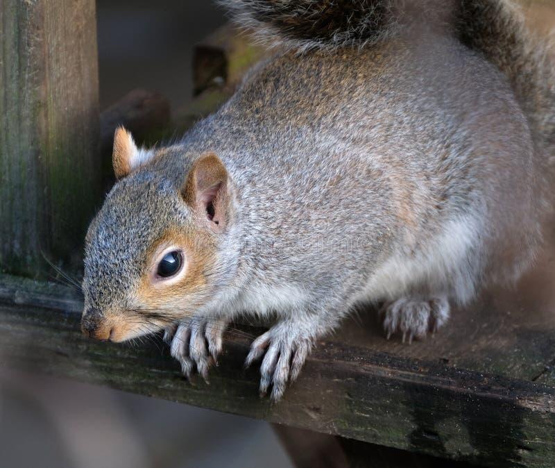 Grey Squirrel na tabela de alimentação do pássaro imagens de stock
