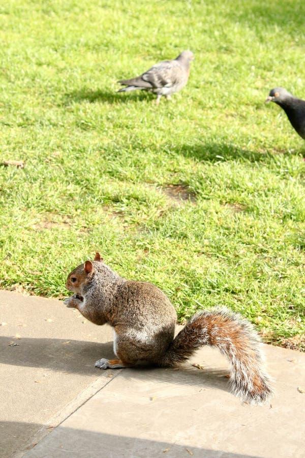 Grey Squirrel op gras met één noot in hand-2 stock fotografie