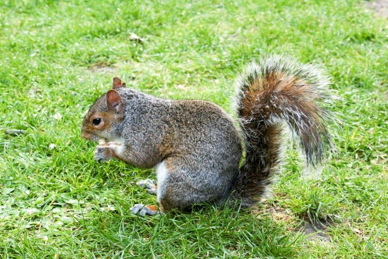 Grey Squirrel op gras met één noot in hand-5 stock afbeelding