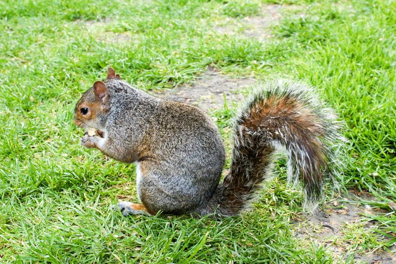 Grey Squirrel op gras met één noot in handen royalty-vrije stock fotografie