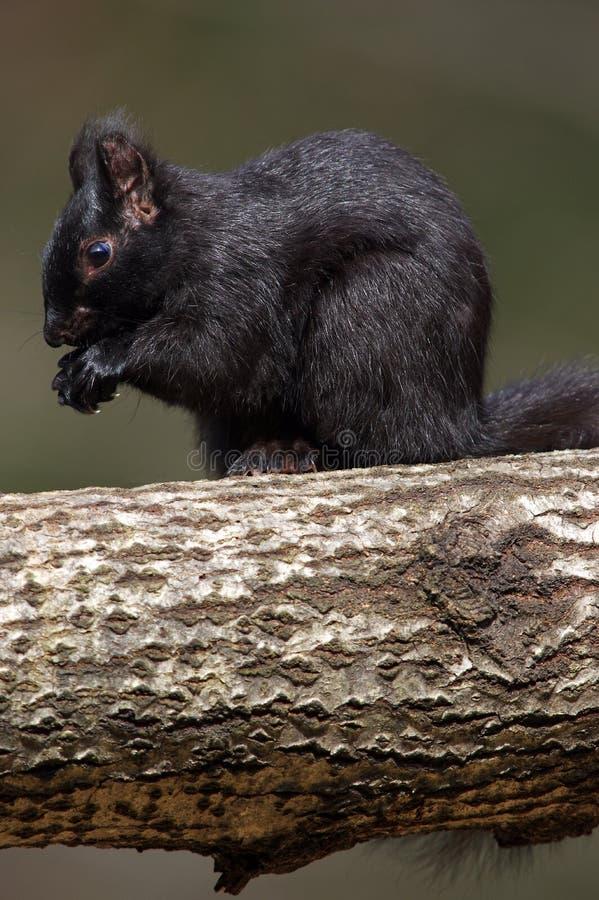 Grey Squirrel oriental - fase preta - carolinensis do sciuru imagem de stock