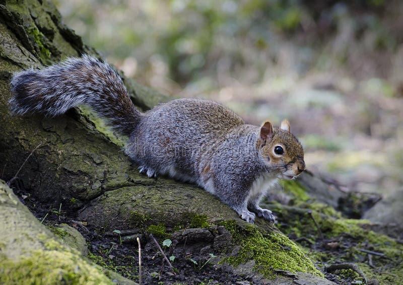 Grey Squirrel på grund av ett träd royaltyfri fotografi