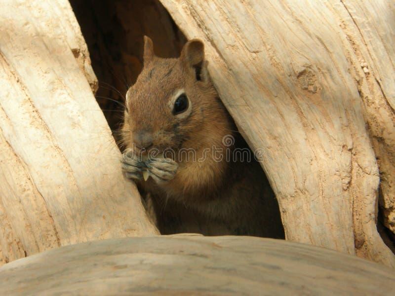 Grey squirrel peeping stock photo