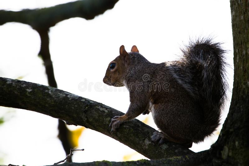 Grey squirrel in Phoenix Park royalty free stock images