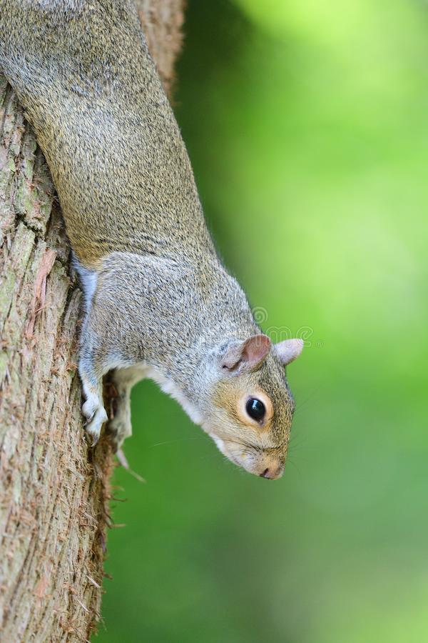 Grey squirrel. Portrait og a grey squirrel climbing down a tree trunk stock photography