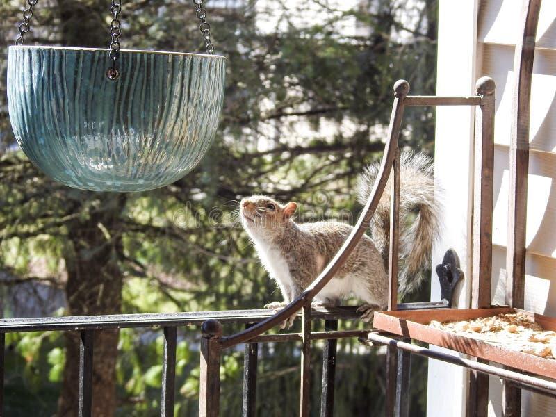 Grey Squirrel que comtempla explorando un pote de cerámica de la ejecución foto de archivo