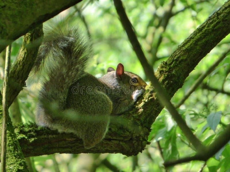 Grey Squirrel Relaxing på ett träd arkivbild