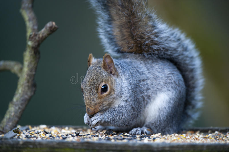 Grey Squirrel (Sciurus carolinensis) royalty free stock photography