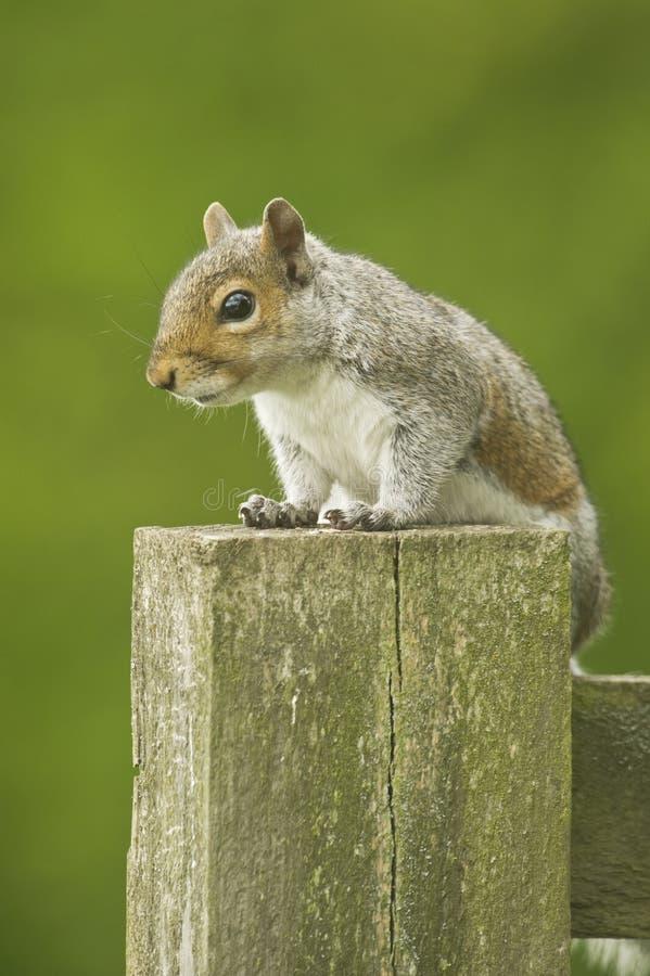 Grey Squirrel Sciurus-carolinensis lizenzfreie stockbilder