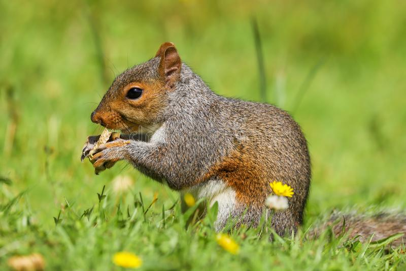 Grey Squirrel-Sciurus carolinensis auf dem Bodenessen lizenzfreie stockfotos
