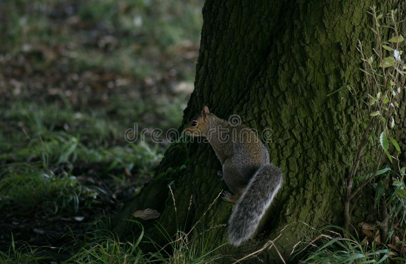 Grey Squirrel / Sciurus carolinensis with bushy tail at the base of a large tree in the woods. In the autumn. Standing on the trunk with fallen brown loaves in stock image