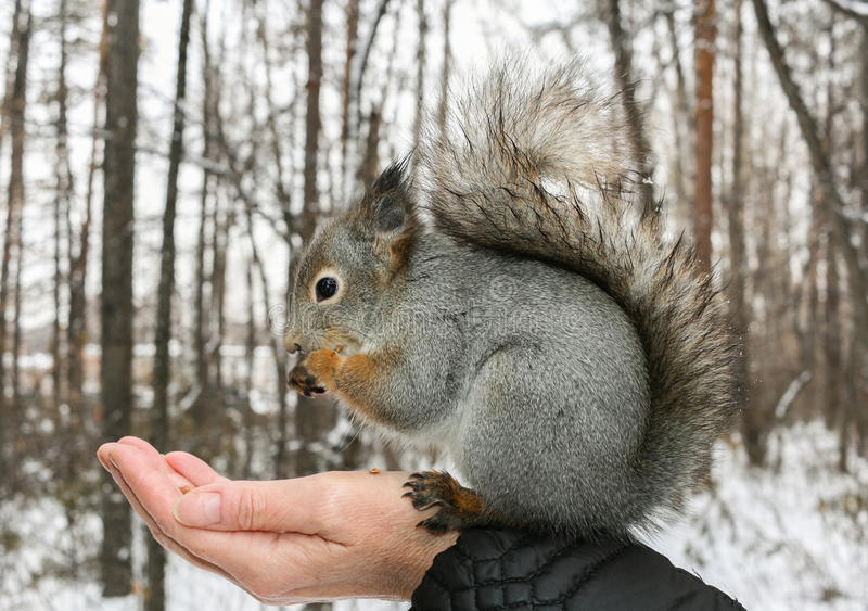 Grey squirrel sits on human`s hand and gnaws nuts. stock photography