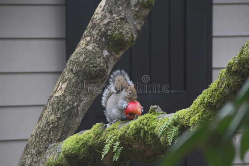 Grey Squirrel Sitting on Moss Covered Tree Branch Eat Large Red Apple, Misty, Wet, Overcast Day royalty free stock images