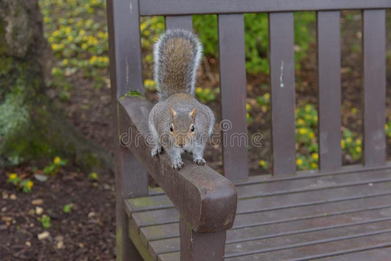 Grey Squirrel sitting on a park bench and looking royalty free stock image