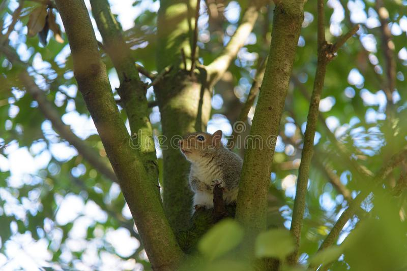 Grey Squirrel sitting in a tree and looking stock images