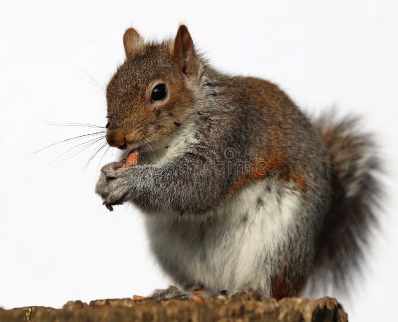 Grey Squirrel som äter jordnötter royaltyfri fotografi