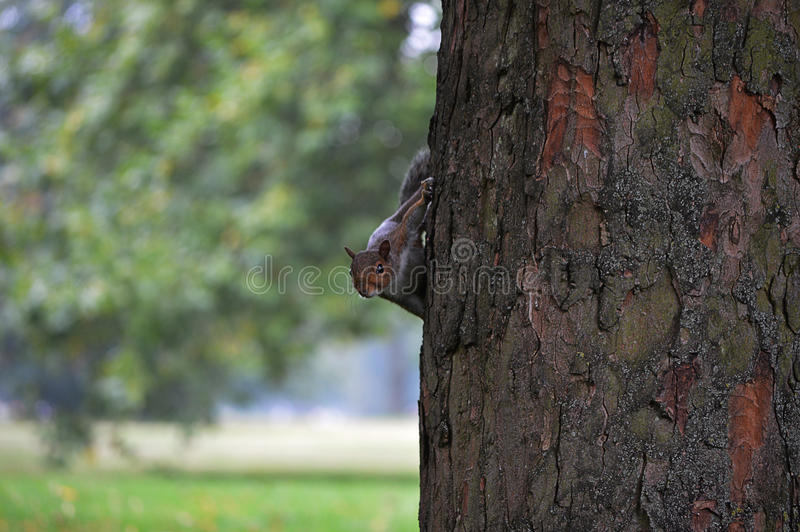 Grey squirrel spying stock photography
