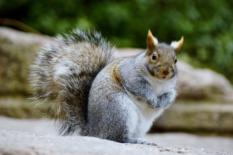 Download Grey Squirrel stock image. Image of cute, standing, rock - 48649333