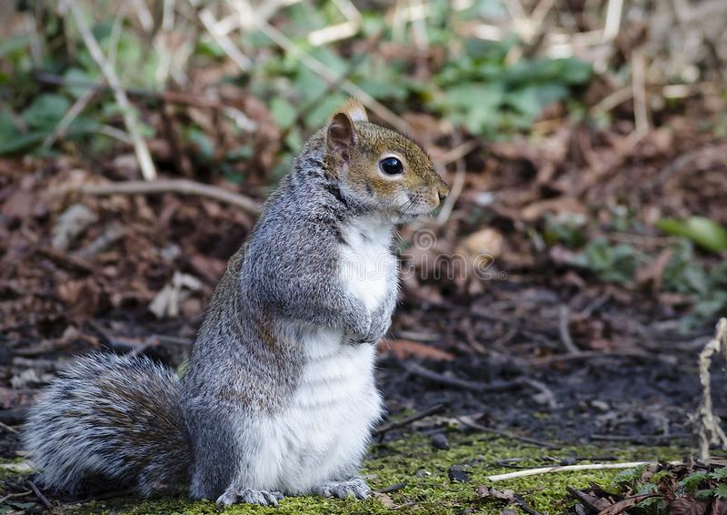 Grey Squirrel standing up straight royalty free stock photography