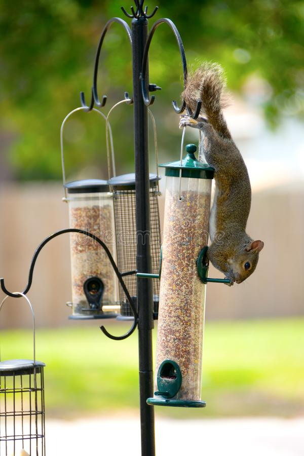 Free Grey Squirrel Stealing And Eating Food From A Bird Feeder Stock Images - 114928304