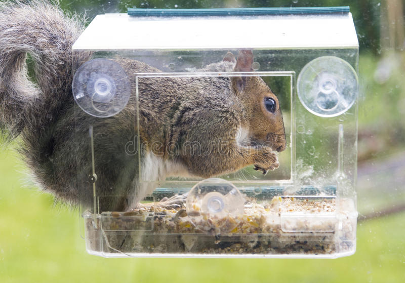 Grey squirrel stealing foodform a window bird feeder stock photo